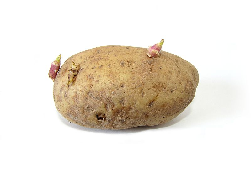800px-potato_with_sprouts